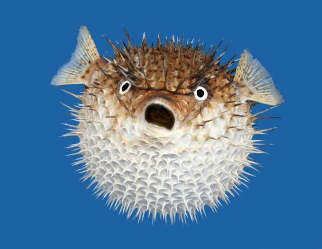 puffa fish